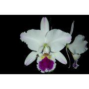 Cattleya labiata semi-alba ´Rosa Maria´ TE