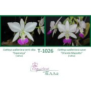 Cattleya walkeriana semi-alba Esperança X Cattleya walkeriana suave Orlando Mazzetto