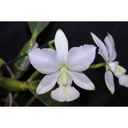 Cattleya walkeriana alba Manuela Terra TE