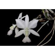 Cattleya walkeriana albescens Sete Lagoas