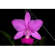 Cattleya walkeriana tipo Loboda
