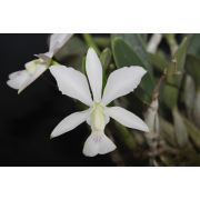 Cattleya walkeriana semi-alba Salú