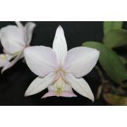 Cattleya nobilior amaliae