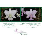 Cattleya walkeriana alba Aurora Boreal TE X Cattleya walkeriana concolor Sopro Divino