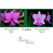 Cattleya walkeriana tipo Moacir X Cattleya walkeriana tipo Capelinha