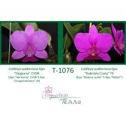 Cattleya walkeriana tipo