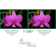 Cattleya nobilior tipo Rafael Wenzel X Cattleya nobilior tipo Rafael Wenzel