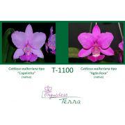 Cattleya walkeriana tipo Capelinha X Cattleya walkeriana tipo Agda Rosa