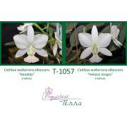 Cattleya walkeriana albescens Bandida X Cattleya walkeriana albescens Heloísa Vargas