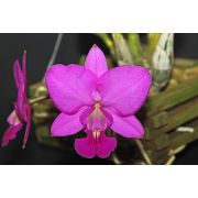 Cattleya walkeriana tipo Feiticeira (Full Red)