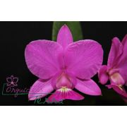 Cattleya walkeriana tipo Sublime TE