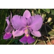 Cattleya walkeriana coerulea Domingos Cavasini CVSN
