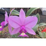 Cattleya nobilior tipo