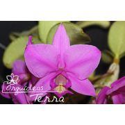 Cattleya nobilior tipo Ventania TE
