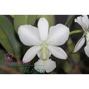 Cattleya walkeriana alba Rainha da Canastra