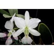 Cattleya walkeriana albescens Ana Luiza