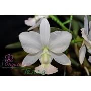 Cattleya walkeriana albescens Bandida