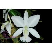 Cattleya walkeriana albescens Maria Amélia