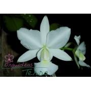 Cattleya walkeriana albescens Maria Rita