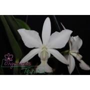Cattleya walkeriana albescens Santana