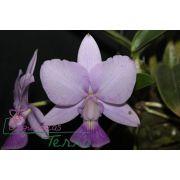 Cattleya walkeriana coerulea Andrezinho CVSN
