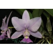 Cattleya walkeriana coerulea Deep Blue TE