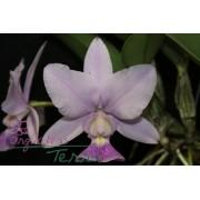 Cattleya walkeriana coerulea Deep Blue TE