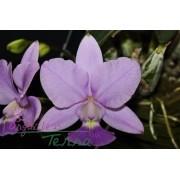 Cattleya walkeriana coerulea Riacho Azul CVSN
