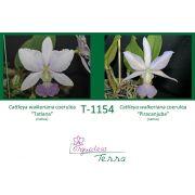 Cattleya walkeriana coerulea Tatiana X Cattleya walkeriana coerulea Piracanjuba