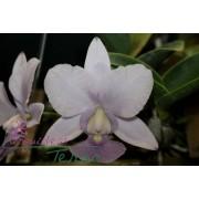 Cattleya walkeriana coerulea Topázio Azul DTO