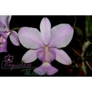 Cattleya walkeriana concolor Sopro Divino