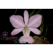 Cattleya walkeriana concolor Valtinho