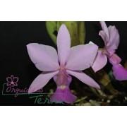 Cattleya walkeriana rosada Natália