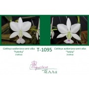 Cattleya walkeriana semi-alba Fatinha X Cattleya walkeriana semi-alba Tetéia