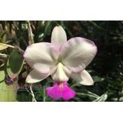 Cattleya walkeriana suave Tróia