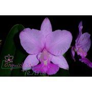 Cattleya walkeriana tipo Capelinha