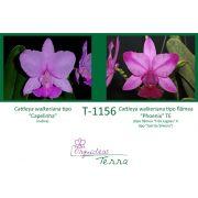 Cattleya walkeriana tipo Capelinha X Cattleya walkeriana flâmea Phoenix TE