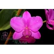 Cattleya walkeriana tipo Capricho da Terra TE