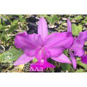 Cattleya walkeriana tipo labeloide