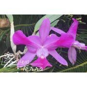 Cattleya walkeriana tipo labeloide Enigma TE