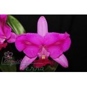 Cattleya walkeriana tipo labeloide Marcelo Terra TE