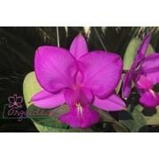 Cattleya walkeriana tipo Moacir
