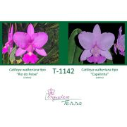 Cattleya walkeriana tipo Rio do Peixe X Cattleya walkeriana tipo Capelinha