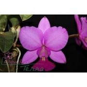 Cattleya walkeriana tipo Terra dos Sonhos TE