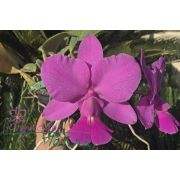 Cattleya walkeriana tipo Terra Geraes TE