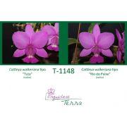 Cattleya walkeriana tipo Tuta X Cattleya walkeriana tipo Rio do Peixe