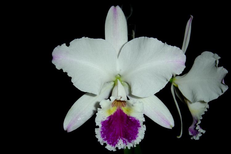 Cattleya labiata semi-alba ´Rosa Maria´ TE  - Orquídeas Terra