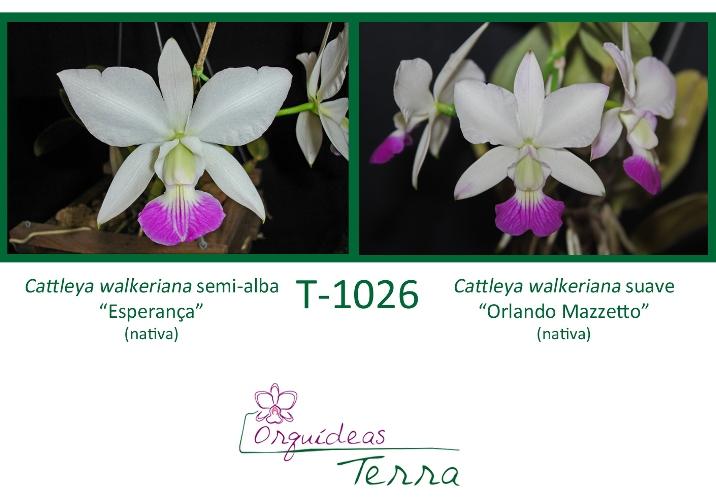 Cattleya walkeriana semi-alba Esperança X Cattleya walkeriana suave Orlando Mazzetto  - Orquídeas Terra