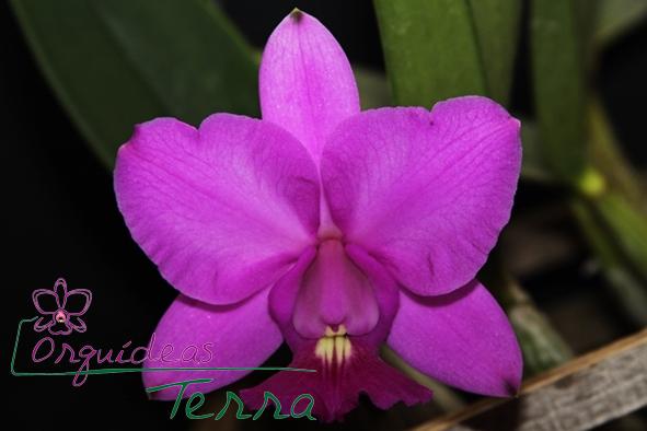 Cattleya walkeriana tipo Júlia Barboza Cavasini CVSN  - Orquídeas Terra
