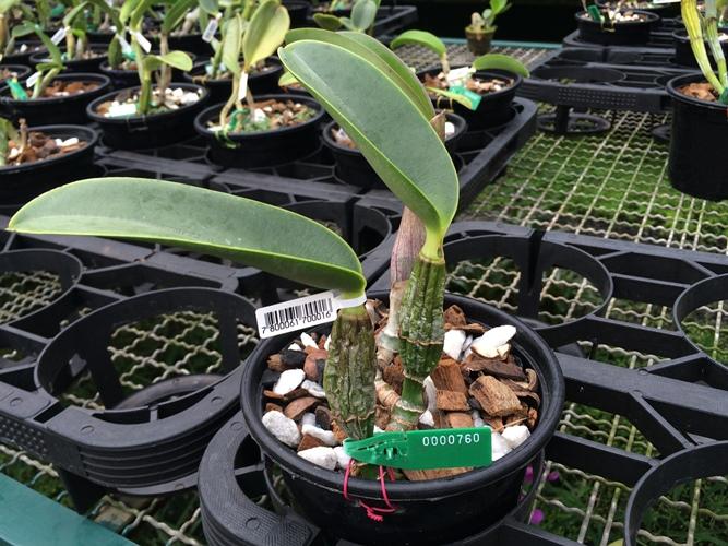 Cattleya walkeriana tipo Nascente TE  - Orquídeas Terra